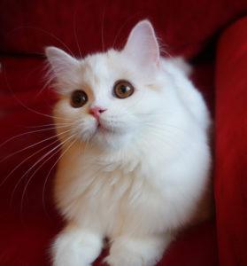 белый котенок купить спб, белая кошечка Спб, британский белый котенок