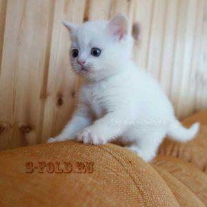 белая шотландская кошечка