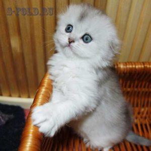 котенок окраса