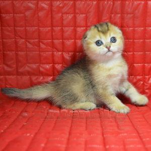рыжий котенок купить