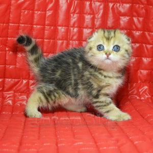 kitten SPb