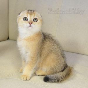 вислоухий золотой котенок спб