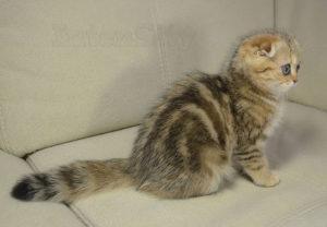 полосатый котенок СПб
