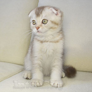 scottish fold shorthair