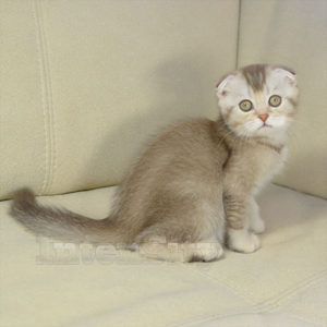 Котенок вислоухий голубой