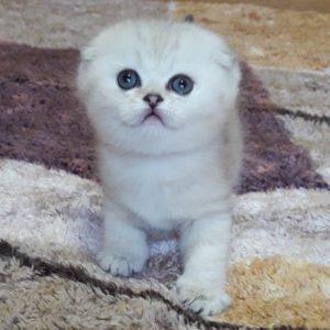 вислоухий котенок купить