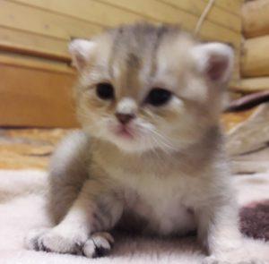 шотландские котята спб