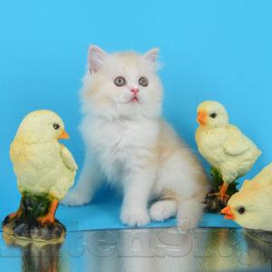 шотландские котята купить спб, шотландские купить москва