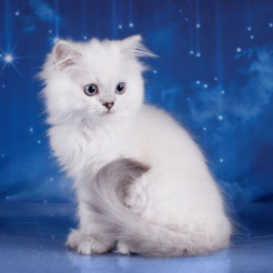 купить котенка спб, питомник шотландских кошек спб, котята колор- поинтБ голубоглазый шотландский котенок
