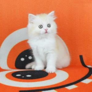 купить котенка спб, котята из питомника спб, породистые котята спб, шотландские котята спб
