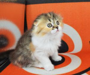 котенок фолд, вислоухий котенок купить, вислоухие котята спб