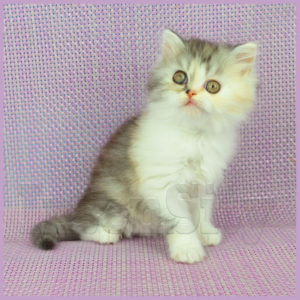 Kindlycat, SFL 71 fs 03, straight longhair, scottish fold