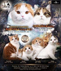 Рыжий котенок, красный мраморный, рыжий вислоухий котенок, рыжий фолд, красный фолд, красный биколор