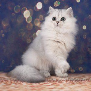 котята британская шиншилла, вислоухие котята, котята шиншиллы, котенок серебристый тикированный, серебристый тикированный СПб, окрас СПб
