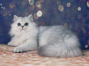 котенок шиншилла, британский котенок, британские котята