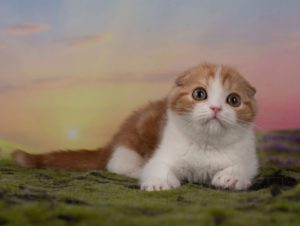 red bicolor, scottish fold, scottish, kitten scottish fold, kittens scottish