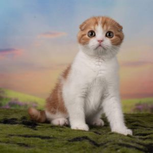 Intensity Dream Time, red bicolor, scottish fold shorthair, SFS 71, SFS 71 d 22 03