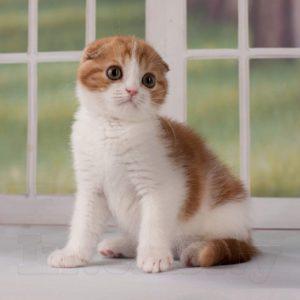 Рыжий котенок, красный мраморный, рыжий вислоухий котенок, рыжий фолд, красный фолд, красный биколор, вислоухий котенок