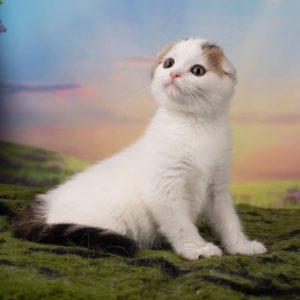 окрас ван, черный тэбби ван, Окрас кошек ван, котенок окраса ван, tabby van