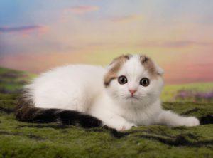 Kitten male SFS n 21 01 scottish fold shorthair tabby van/ котенок мальчик скоттиш фолд окрас черный тэбби ван
