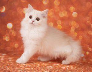 рыжий котенок спб, рыжий котенок купить москва, хайленд страйт, котята СПб