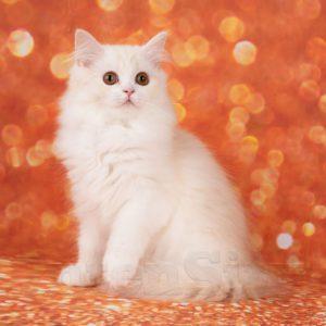 SFL 71 ds 03 11, scottish straight longhair, котенок шотландский рыжий