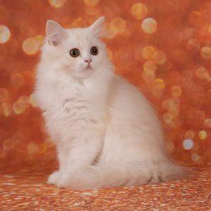 Хайленд страйт камео, котенок камео, котенок окраса, окрас камео
