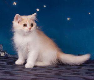 красный биколор, котята СПб, котята Москва, рыжий кот