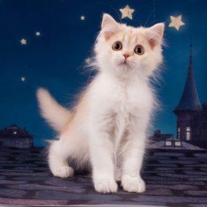 рыжий котенок купить спб, рыжие котята, британский рыжий котенок