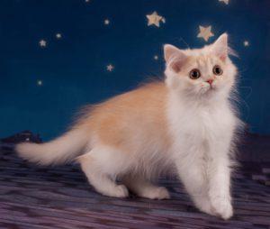 британский котенок, котята спб, купить котенка спб