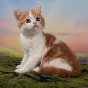 рыжий котенок спб, британский рыжий котенок, котята спб, котята Москва, шотландский рыжий котенок
