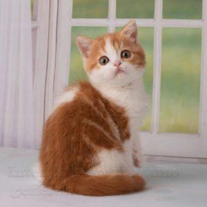 red bicolor kitten, scottish straight, scottish straight shorthair