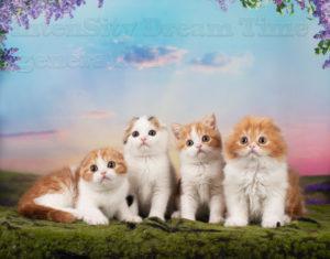 Котята шотландские купить, породистые котята спб, вислоухие котята СПб, окрас красный биколор, окрас британсой кошки, окрас шотландской кошки