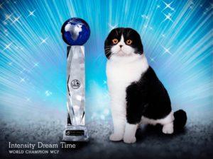Intensity cattery, cattery, питомник кошек спб, питомник шотландских кошек спб