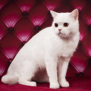 SFS 71 w 62, scottish straight shorthair, белая кошечка, белый котенок, британские котята