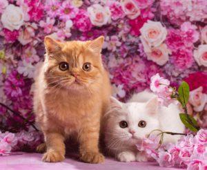 котята спб, рыжий котенок спб, купить котенка спб, купить шотландского котенка спб