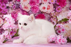 котята спб, белый котенок спб, купить котенка спб, купить шотландского котенка спб