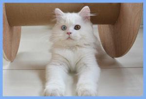 белые котята, купить белого котенка спб, белый британский котенок, британские котята спб