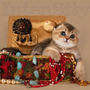 kittens, golden fold, golden ticked, golden kittens for, scottish fold kitten
