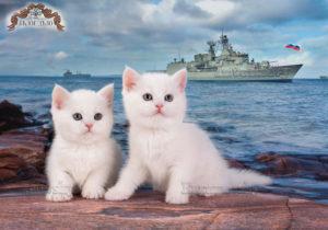 белый котенок, белые котята, котята спб, британский котенок спб, шиншилла спб