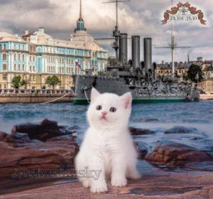 kitten for sale, SFS w 63, w 61, w 64