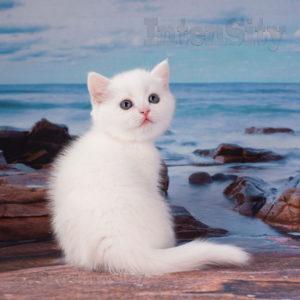 британские котята спб, шотландские котята спб, скоттиш страйт, котята из питомника спб, котята из профессионального питомника