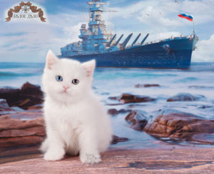 kitten for sale, SFS w 63, w 61, w 64