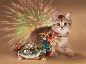 котята спб, шотландские котята спб, британские котята спб, питомник кошек спб, тэбби спб