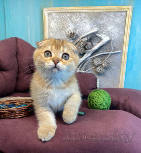 золотая шиншилла спб, вислоухий котенок спб, золотой тикированный котенок спб, золтой котенок фолд