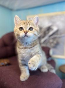 золотая шиншилла спб, британский котенок золотой тикированный