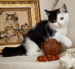 котята от заводчика, шотландские котята