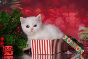 белый британский котенок, белый шотландский котенок, белый шотландский страйт спб